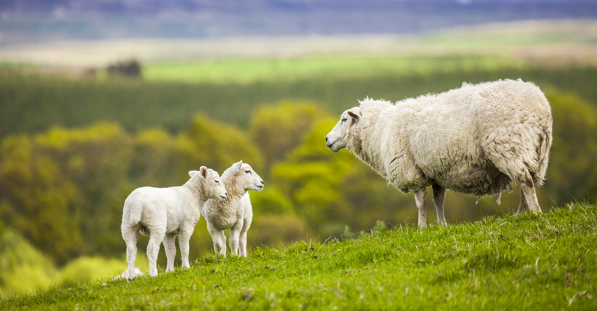 pura lana vergine - fibre naturali